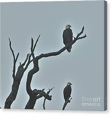 Bald Eagles  Canvas Print