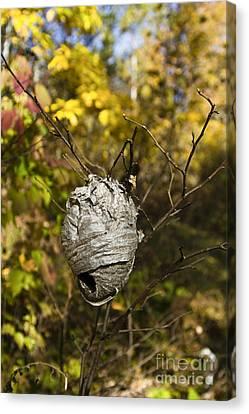 Bald-faced Hornet Nest Canvas Print