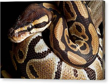 Canvas Print featuring the photograph Ball Python Python Regius by David Kenny