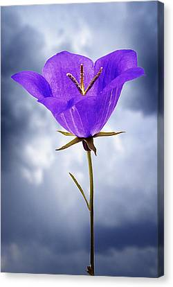 Balloon Flower Canvas Print by Donald  Erickson