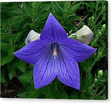 Balloon Flower Canvas Print by Julie Dant