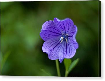 Balloon Flower Canvas Print by Michael Russell