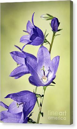 Balloon Flowers Canvas Print by Tony Cordoza