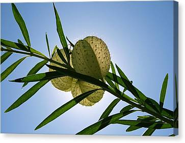 Canvas Print featuring the photograph Balloon Plant by Kathleen Scanlan