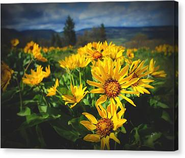 Balsamroot Of The Gorge Canvas Print