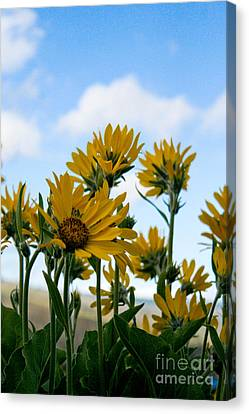 Balsamroot Reaching For The Sky Canvas Print by Cari Gesch