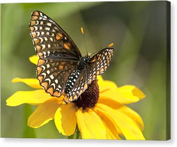 Baltimore Checkerspot And Black-eyed Susan Canvas Print by Kathryn Whitaker