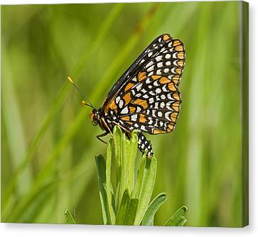 Baltimore Checkerspot Butterfly Canvas Print by Eric Mace