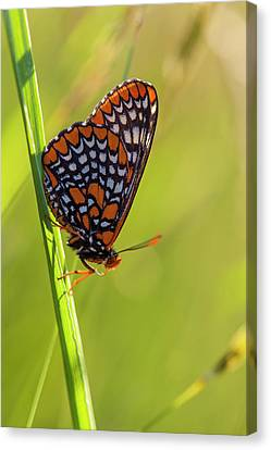 Baltimore Checkerspot Butterfly Canvas Print by Jerry and Marcy Monkman