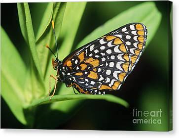 Baltimore Checkerspot Butterfly Canvas Print by Larry West