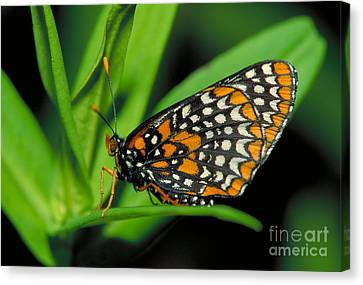 Baltimore Checkerspot Canvas Print by Larry West