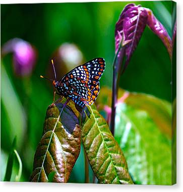 Baltimore Checkerspot On Poison Ivy Canvas Print by Constantine Gregory
