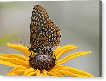Baltimore Checkerspot With Black-eyed Susan Canvas Print by Kathryn Whitaker