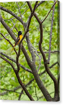 Baltimore Oriole Canvas Print by Bill Wakeley