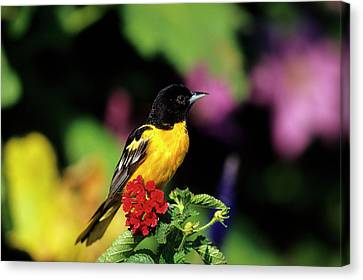 Baltimore Oriole (icterus Galbula Canvas Print by Richard and Susan Day