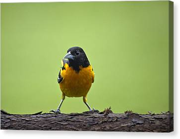 Baltimore Oriole On Cedar Log Canvas Print