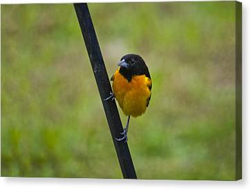 Baltimore Oriole On Pole Canvas Print