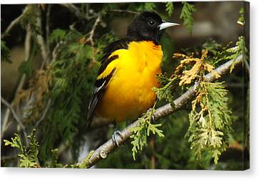 Baltimore Oriole Return To Spring Canvas Print by Brenda Brown