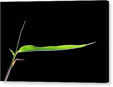 Bamboo (bambusa Sp.) Shoot Canvas Print