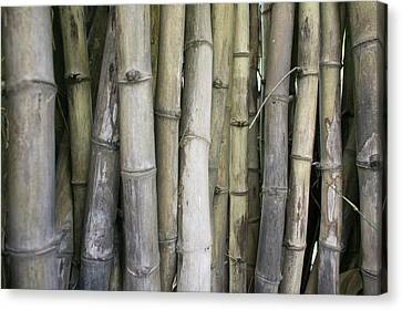 Bamboo, Dharamsala, India Canvas Print by Phil Borges