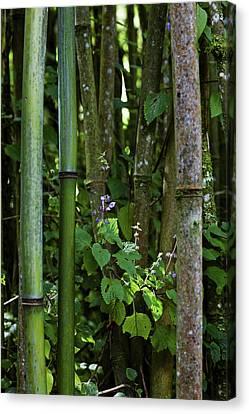 Bamboo Forest, Ruwenzori, Uganda Canvas Print