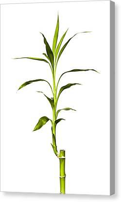 Bamboo Canvas Print by Jeff Burton