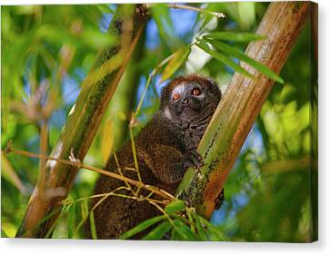 Bamboo Lemur In The Bamboo Forest Canvas Print by Keren Su