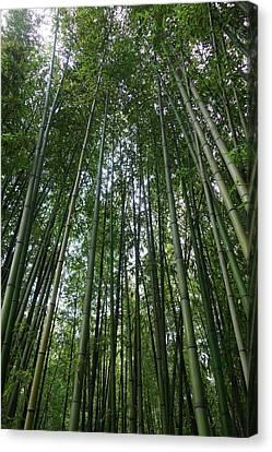 Bamboo Plantation Canvas Print