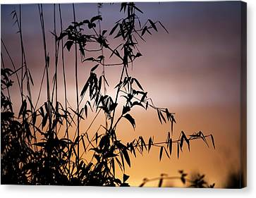 Bamboo Stems At Sunset Canvas Print