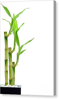 Bamboo Stems In Black Vase Canvas Print by Olivier Le Queinec