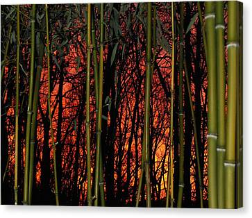 Bamboo Sunset Canvas Print by Sharon Costa