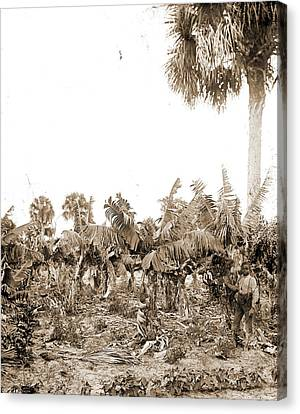 Plantations Canvas Print - Banana Plantation, Indian River, Jackson, William Henry by Litz Collection