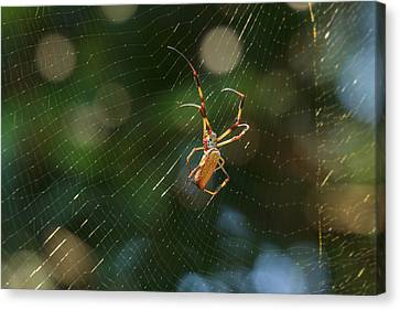 Banana Spider In Web Canvas Print by Patricia Schaefer