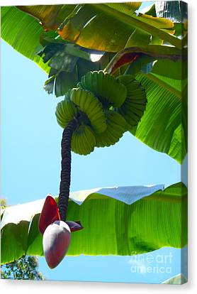Banana Stalk Canvas Print by Carey Chen