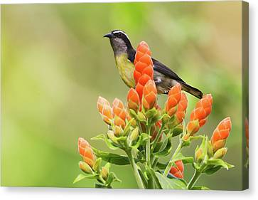 Nature Center Canvas Print - Bananaquit On Blooms by Ken Archer