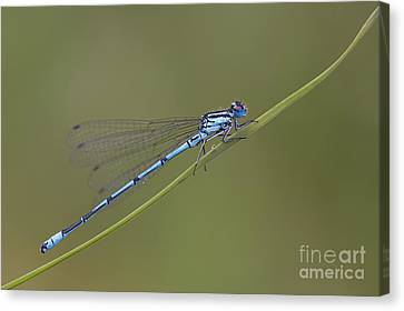 Banded Agrion Damselfly Canvas Print by Frank Derer