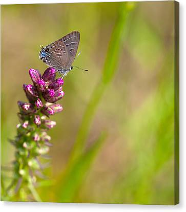 Banded Hairstreak Butterfly Canvas Print by Melinda Fawver