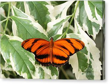 Banded Orange Longwing Butterfly Canvas Print by Judy Whitton
