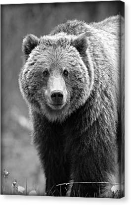 Cal Canvas Print - Banff Grizzly In Black And White by Stephen Stookey