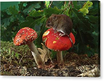 Bank Vole On Mushroom Canvas Print by Derek Middleton