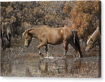 Feral Canvas Print - Banker Ponies by Betsy Knapp