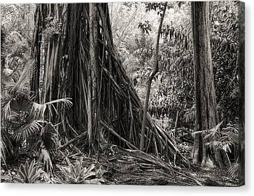 Tree Roots Canvas Print - Strangler Fig And Cypress Tree by Rudy Umans