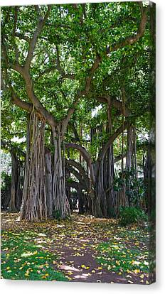 Banyan Tree At Honolulu Zoo Canvas Print by Michele Myers