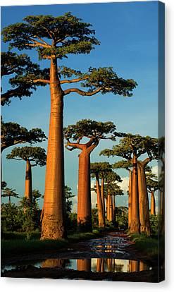 Baobab (adansonia Grandidieri Canvas Print