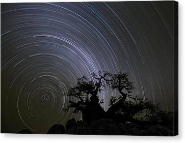Baobab And Star Trails  Botswana Canvas Print