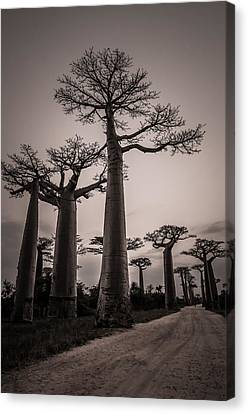 Baobab Avenue Canvas Print