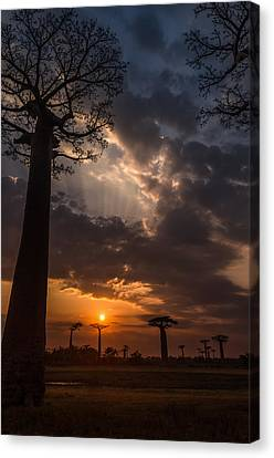 Baobab Sunrays Canvas Print by Linda Villers
