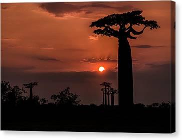 Baobab Sunrise Canvas Print