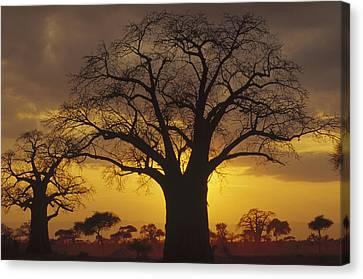 Baobab Tree At Sunset Tanzania Canvas Print
