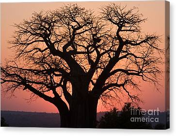 Canvas Print featuring the photograph Baobab Tree Sunset by Chris Scroggins